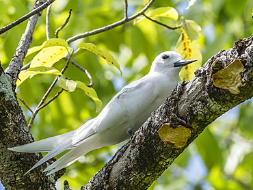 Adult white tern (Gygis alba), at the Belvedere on Makatea, French Polynesia, South Pacific, Pacific