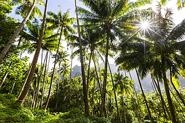 Coconut trees surrounding the town of Hanavave, Fatu Hiva, Marquesas, French Polynesia, South Pacific, Pacific