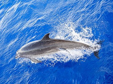 Adult bottlenose dolphin (Tursiops truncatus), with remora attached in Roroia, Tuamotus, French Polynesia, South Pacific, Pacific