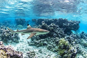 Adult blacktip reef shark (Carcharhinus melanopterus) underwater at Toau, Tuamotus, French Polynesia, South Pacific, Pacific