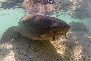 Adult tawny nurse shark (Nebrius ferrugineus) in the town of Rotoava, Fakarava, French Polynesia, South Pacific, Pacific