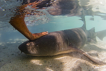 Adult tawny nurse shark (Nebrius ferrugineus) being fed by hand in Rotoava, Fakarava, French Polynesia, South Pacific, Pacific