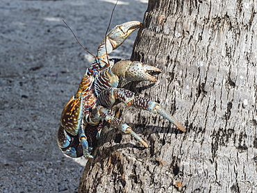 Adult coconut crab (Birgus latro) in the town of Tapana, Niau Atoll, Tuamotus, French Polynesia, South Pacific, Pacific