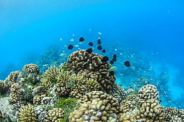 Underwater image of the inner lagoon of Apataki coral atoll, Palliser Islands, Tuamotus, French Polynesia, South Pacific, Pacific