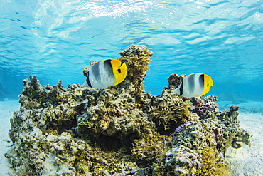 Colorful reef fish in the inner lagoon at Toau Atoll, Tuamotus, French Polynesia, South Pacific, Pacific