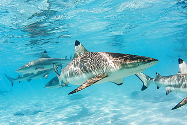 Blacktip reef sharks (Carcharhinus melanopterus) cruising the shallow waters of Moorea, Society Islands, French Polynesia, South Pacific, Pacific