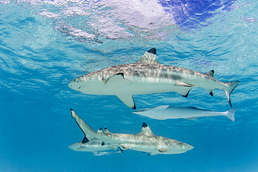 Blacktip reef sharks (Carcharhinus melanopterus), cruising the shallow waters of Moorea, Society Islands, French Polynesia, South Pacific, Pacific