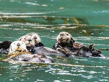 A raft of sea otters, Enhydra lutris, grooming their fur in kelp in the Inian Islands, Southeast Alaska, United States of America