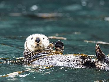 A rafting sea otter, Enhydra lutris, grooming its fur in kelp in the Inian Islands, Southeast Alaska, United States of America