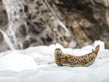 Adult harbour seal, Phoca vitulina, hauled out on ice at South Sawyer Glacier, Tracy Arm, Alaska, United States of America