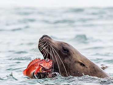 An adult bull Steller sea lion, Eumetopias jubatus, eating a rockfish in the Inian Islands, Southeast Alaska, United States of America