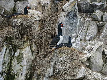 Nesting rock shags, Phalacrocorax magellanicus, on small islet in the Beagle Channel, Ushuaia, Argentina, South America