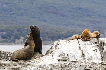 South American sea lion bull, Otaria flavescens, attempting to mate on a small islet in the Beagle Channel, Argentina, South America