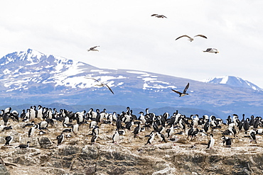 Imperial shag, Phalacrocorax atriceps, breeding site at small islet in the Beagle Channel, Ushuaia, Argentina, South America