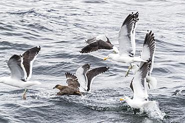 Adult Chilean skua, Stercorarius chilensis, harassing kelp gulls to force regurgitation, Beagle Channel, Argentina, South America