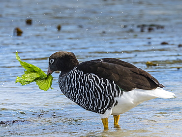 Adult female kelp goose, Chloephaga hybrida, feeding on kelp at low tide at West Point Island, Falkland Islands, South Atlantic Ocean