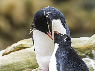 An adult Southern rockhopper penguin pair, Eudyptes chrysocome, at rookery on New Island, Falkland Islands, South Atlantic Ocean