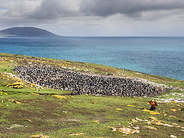Southern rockhopper penguins, Eudyptes chrysocome, with photographer on Saunders Island, Falkland Islands, South Atlantic Ocean