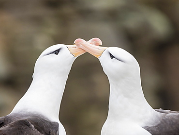 Black-browed albatross, Thalassarche melanophris, courtship display on New Island, Falkland Islands, South Atlantic Ocean