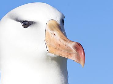 Black-browed albatross, Thalassarche melanophris, at breeding colony on New Island, Falkland Islands, South Atlantic Ocean
