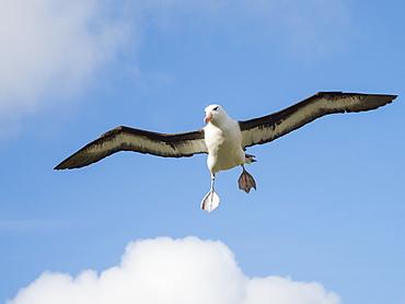 Black-browed albatross, Thalassarche melanophris, in flight at breeding colony on West Point Island, Falkland Islands, South Atlantic Ocean