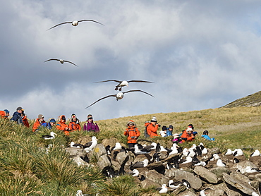 Black-browed albatross, Thalassarche melanophris, in flight near tourists on West Point Island, Falkland Islands, South Atlantic Ocean