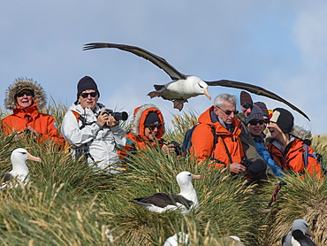 Tourists and black-browed albatross on West Point Island, Falkland Islands