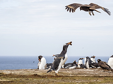 An adult striated caracara, Phalcoboenus australis, harassing a gentoo penguin, New Island, Falkland Islands, South Atlantic Ocean
