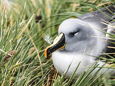 Adult grey-headed albatross, Thalassarche chrysostoma, on nest on tussock grass at Elsehul, South Georgia Island, Atlantic Ocean