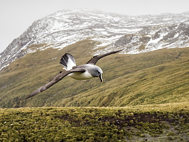 Adult grey-headed albatross, Thalassarche chrysostoma, returning to nest site at Elsehul, South Georgia Island, Atlantic Ocean