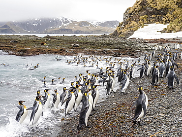 Adult king penguins, Aptenodytes patagonicus, leaving the sea after feeding in Right Whale Bay, South Georgia Island, Atlantic Ocean