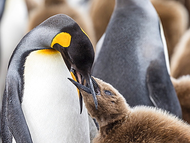 Adult king penguin, Aptenodytes patagonicus, feeding oakum boy chick at Salisbury Plains, South Georgia Island, Atlantic Ocean