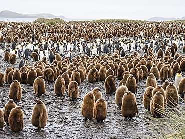 Oakum boy king penguin chicks, Aptenodytes patagonicus, amongst adults at Salisbury Plain, South Georgia Island, Atlantic Ocean