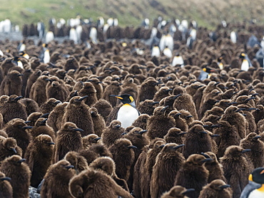 Adult king penguin, Aptenodytes patagonicus, amongst chicks at Salisbury Plain, South Georgia Island, Atlantic Ocean