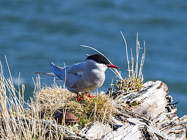 An adult Antarctic tern, Sterna vittata, at Grytviken, South Georgia Island, Atlantic Ocean