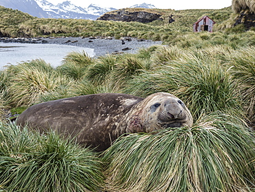 Adult bull southern elephant seal, Mirounga leonina, in tussock grass, Jason Harbour, South Georgia Island, Atlantic Ocean