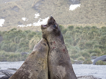 Young bull southern elephant seals, Mirounga leonina, fighting for territory in Gold Harbour, South Georgia Island, Atlantic Ocean