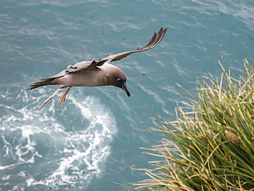 An adult light-mantled albatross, Phoebetria palpebrata, landing at nesting site in Elsehul, South Georgia Island, Atlantic Ocean