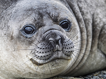 Curious southern elephant seal pup, Mirounga leonina, in Jason Harbour, South Georgia Island, Atlantic Ocean