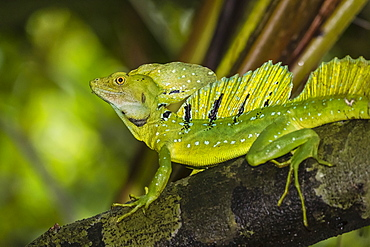 An adult male plumed basilisk, Basiliscus plumifrons, Cano Chiquerra, Tortuguero National Park, Costa Rica, Central America