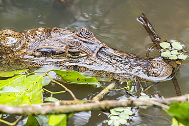 An adult spectacled caiman, Caiman crocodilus, in Cano Chiquerra, Tortuguero National Park, Costa Rica, Central America