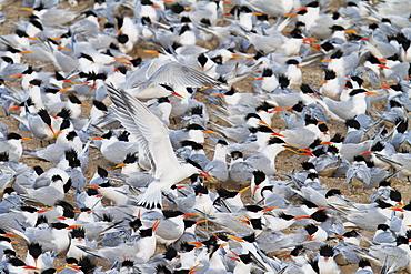 Elegant tern (Thalasseus elegans) breeding colony, Isla Rasa, Gulf of California (Sea of Cortez), Baja California, Mexico, North America