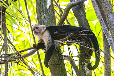 A Panamanian white-faced capuchin, Cebus imitator, in Manuel Antonio National Park, Costa Rica, Central America