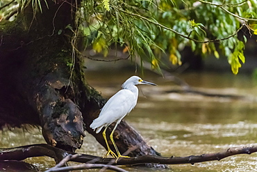 An adult snowy egret, Egretta thula, stalking prey in Tortuguero National Park, Costa Rica, Central America