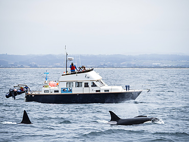 Adult killer whales (Orcinus orca) near research boat in the Monterey Bay National Marine Sanctuary, California, United States of America, North America
