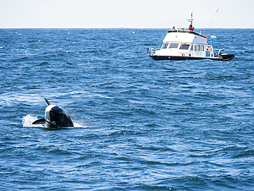 Transient killer whale (Orcinus orca), breaching in the Monterey Bay National Marine Sanctuary, California, United States of America, North America