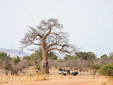 A very large baobab tree, Adansonia digitata, showing elephant foraging damage in South Luangwa National Park, Zambia.