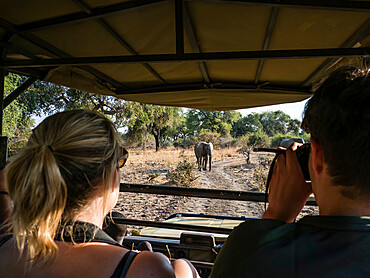 An African bush elephant, Loxodonta africana, near a safari truck in South Luangwa National Park, Zambia.