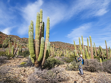 The Sonoran Desert in bloom in the spring on Isla San Esteban, Baja California, Mexico, North America