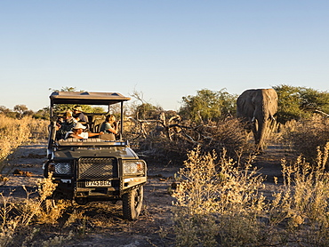 African elephant (Loxodonta africana), as seen from game drive vehicle in the Okavango Delta, Botswana, Africa